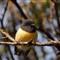 New Zealand Miromiro (Tomtit) (Male)