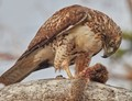 I photographed this hawk for nearly an hour. I stood on the same fallen eucalyptus tree that it was on.