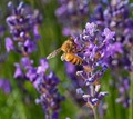 Honey bee in Lavender flower
