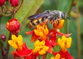 Yellow Jacket on Milkweed