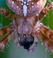 SpiderCloseup