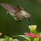 Hummingbird At Touch Down