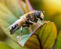 Am I a Bee.