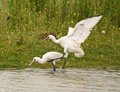 Marquenterre Ornithologic Parc, Picardie, France, Spoonbill