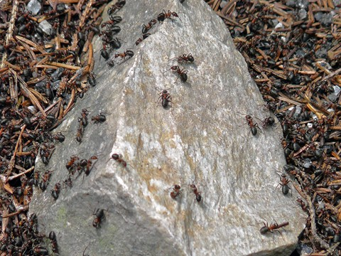 Camouflaged Ants
