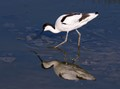 Avocet reflection
