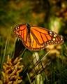 Butterfly in Monarch Butterfly Sanctuary