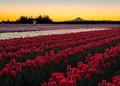 _DSC2054 wooden shoe tulip festival