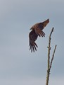 Red kite starting from a branch