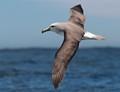 Slavin's Albatross over the Pacific Ocean