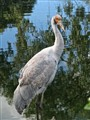 Australian Native Brolga