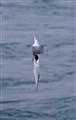 Arctic Tern diving for fish, Iceland