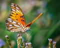 Gulf Fritillary Butterfly ready to fly from the wild flowers!