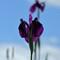 Backlit Violet Iris
