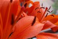 Orange lillys
