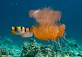 Jellyfish and butterflyfish