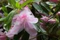 Azalea after rain