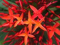 Santan Flower