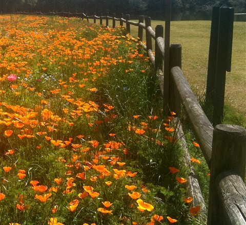 Poppy Fences