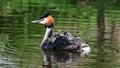 Great Crested Grebe with 3 young on its back