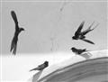 quarrelling swallows