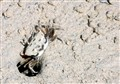 Fiddler crab, Nabq protected area, Sinai