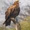 Spotted Eagle: OLYMPUS DIGITAL CAMERA