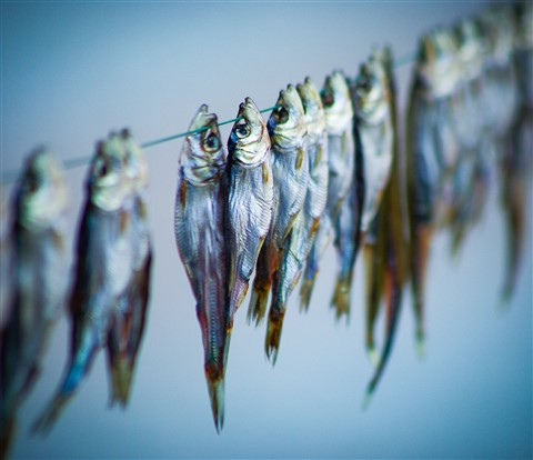 fish on the clothesline 2