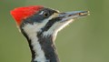 Pileated Woodpecker.
