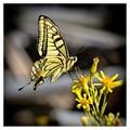 Southern-Swallowtail