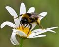 Buff-tailed Bumblebee (Male)