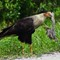 Crested Caracara eating lunch
