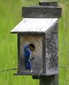 Blue bird feeding the family