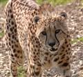100_0049_2    Cheetah