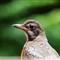 Pana G3 bird_robin_20110704_034