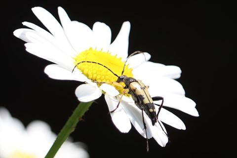 Beetle - Rutpela maculata (Black-and-Yellow Longhorn Beetle)