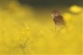 Singing in rapeseed