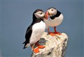 Lovebird Atlantic Puffins
