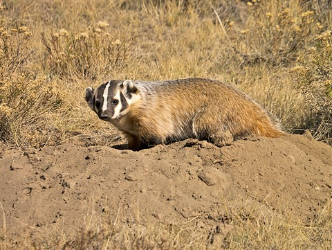 Full body badger