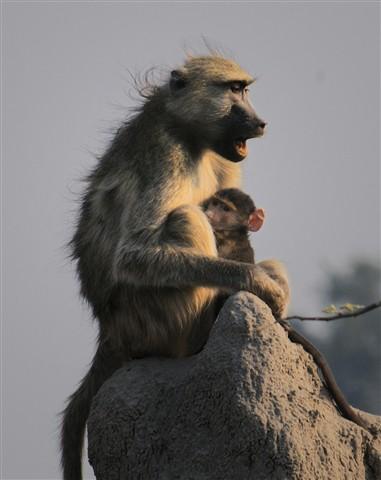 Baboons - Botswana