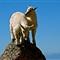 mtn goats 1