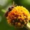Wasp on golden ball buddleja
