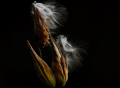 Milkweed...