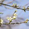 Damson Blossom 2016-1