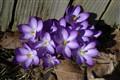 Purple flowers for purple states