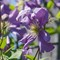 aflower clematis 1133 prince charles boston 2020