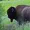 Bulll making scrape at National Bison Range Montana
