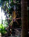 Jungle spider, Belize