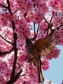 Brown-eared Bulbul among sakura cherry flowers