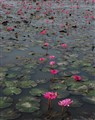 waterlilies in the pond at 5pm